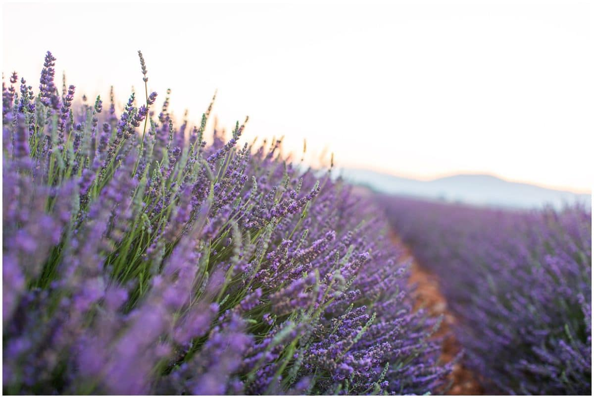 Lavender fields, shooting couple